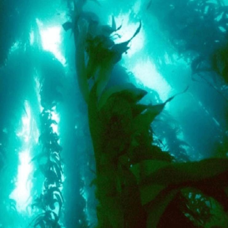 Fotografía de algas gigantes, ingrediente contenido en THELAVICOS Homme Multi Essence