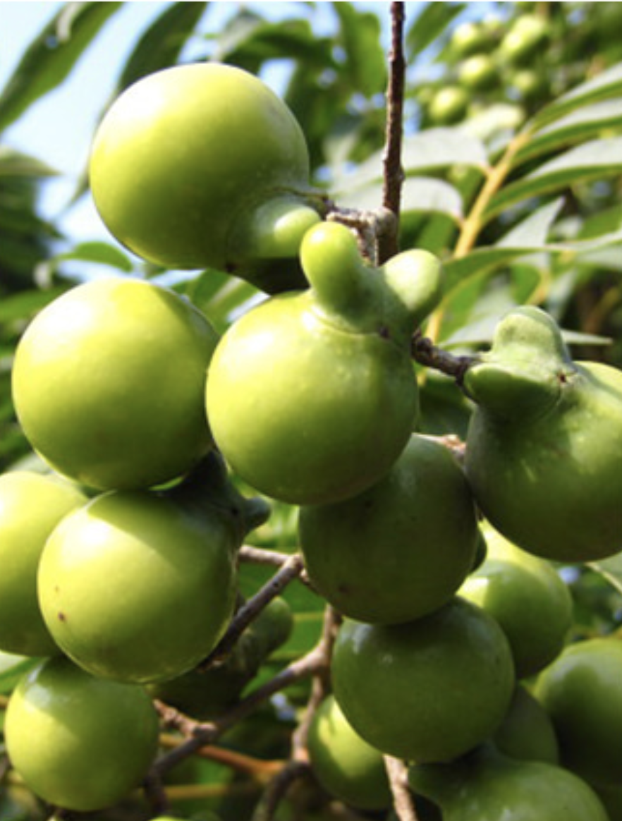 Foto de la mora de jabón india, ingrediente contenido en THELAVICOS Suvia Pure Foam Cleanser